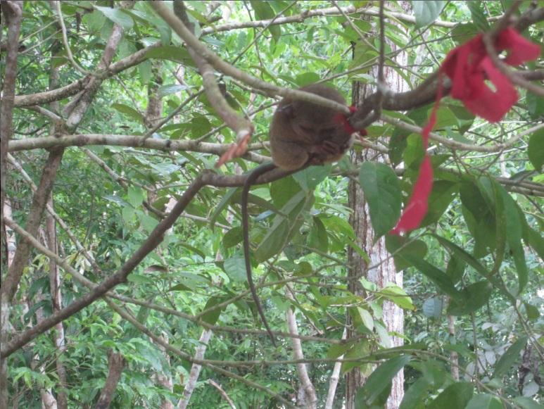 smallest primate in the world