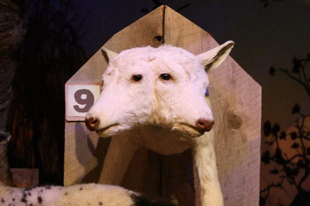 double headed cow at Ripley's Odditorium