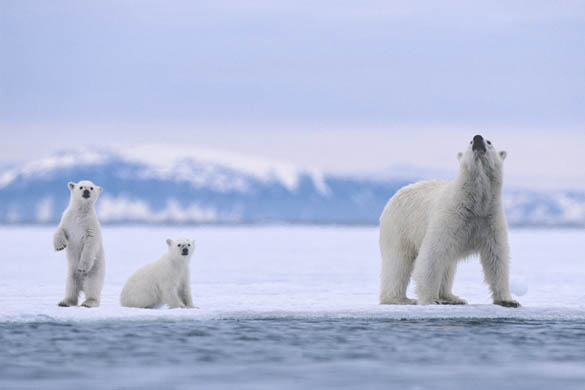 When wildlife watching in the Arctic, be sure to watch out for these guys!